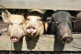 20-BLOG-Pigs-with-Nose-Rings